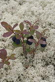 Great Bilberry — Stock Photo