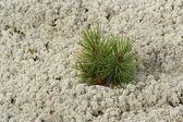 Dwarf Cedar — Foto de Stock