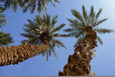 Group of date palms (Phoenix dactylifera) against blue sky. — Stock Photo