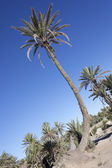 Oasis of date palms (Phoenix dactylifera). — Stock Photo