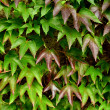 Ivy Background — Stock Photo