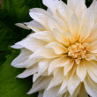 Wet White Dahlia Flower — Stock Photo