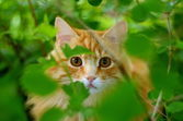 Hiding Ginger Cat — Stock Photo