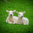 Two Resting Lambs — Stock Photo
