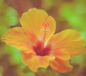 Retro Hawaiian Hibiscus — Stock Photo