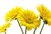 Gelbe daisys isoliert auf weißem hintergrund — Stockfoto