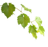Green grapevine leaves — Stock Photo