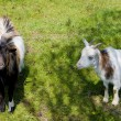 Goats — Stock Photo #13584705