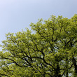 Tree canopy in spring time — Stock Photo