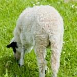 Lamb on meadow, Bosnia and Hercegovina — Stock Photo #13585199