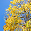 Tree canopy in Autumn — Stock Photo