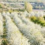 Spring flowering garden, Czech Republic — Stock Photo #13586319