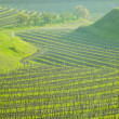 Stock Photo: Vineyard Ulehle, Livi Dubnany, Czech Republic