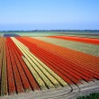 Stock Photo: Tulip field, Netherlands