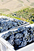 Wine harvest, Douro Valley, Portugal — Stock Photo