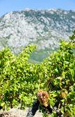 Vineyars — Stock Photo