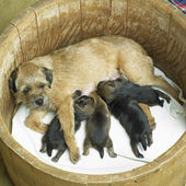 Female dog with puppies (Border Terrier) — Stock Photo