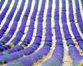 Lavanta alan, provence, fransa — Stok fotoğraf