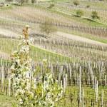 Beautiful Lush Grape Vineyard — Stock Photo #14120215