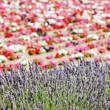 Flower field and lavenders, Provence, France — Stock Photo