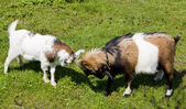 Goats on meadow, Netherlands — Stock Photo