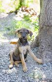 Sitting puppy, Tobago — Stock Photo