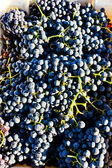 Harvested grapevines, Douro Valley, Portugal — Stock Photo