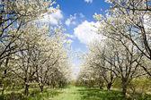 Blühenden Obstgarten im Frühjahr — Stockfoto