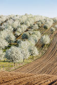 Blooming orchard in spring with a field, Czech Republic — Stock Photo