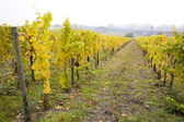 виноградник, хоххайме, рейнгау, германия — Стоковое фото
