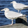 Sea gulls, Maine, USA - Stock Photo