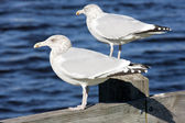 Sea gulls, Maine, USA — Stock Photo
