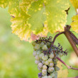 Stock Photo: Grapes (Weiser Elbling), Germany