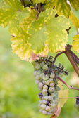 Grapes (Weiser Elbling), Germany — Stock Photo