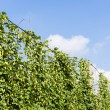 Hops in hops garden, Czech Republic — Stock Photo