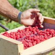 Harvest of raspberries — Stock Photo