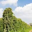Hops garden, Czech Republic — Stock Photo