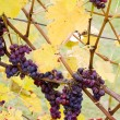 Grapes (Agostenga rosa), Germany - Stock Photo