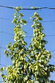 Hops in hops garden, Czech Republic — Stock Photo