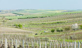 Vineyard called Noviny near Cejkovice, Czech Republic — Stock Photo