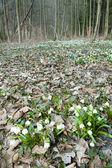 Copos de nieve de primavera en el bosque — Foto de Stock