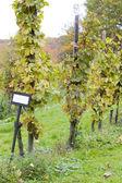 Moselpfahlerziehung, eberbach, hessen, tyskland — Stockfoto