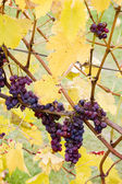 Grapes (Agostenga rosa), Germany — Stock Photo