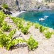 Vineyard on Cap de Peyrefite near Cerbere, Languedoc-Roussillon, — Stock Photo #23607869