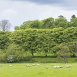 Stock Photo: Landscape with sheep near Laigh Milton, East Ayrshire, Scotland
