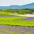 Stock Photo: Lavender fields with vineyards, Rhone-Alpes, France