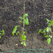 Seedlings of tomatoes - Stock Photo