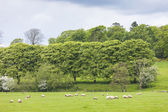 Landscape with sheep near Laigh Milton, East Ayrshire, Scotland — Stock Photo