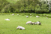 Landscape with sheep, Cumbria, England — Stock Photo