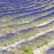 Stock Photo: Lavender field near Tavard, Rhone-Alpes, France